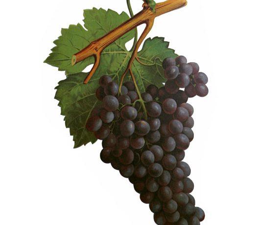 Сорт грозде Автохтон | Autochtone