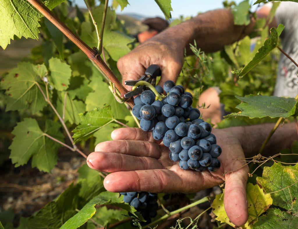 червен сорт грозде