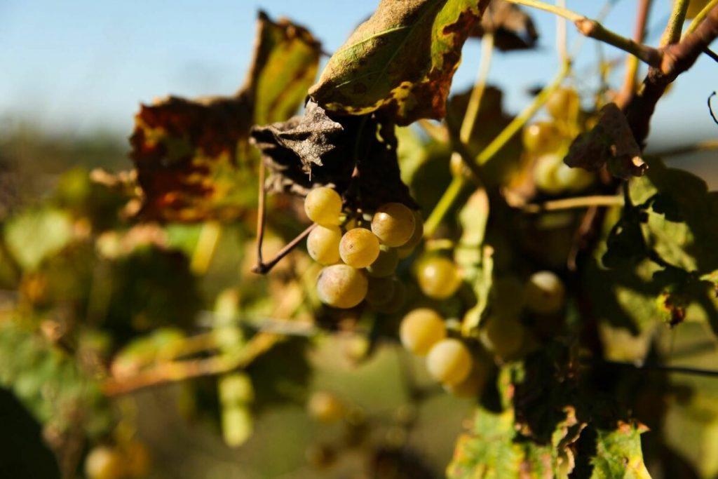 грозде за кава